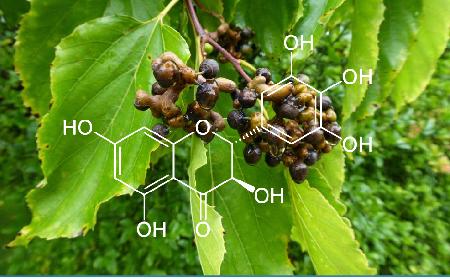 Công dụng giải rượu bia của cây Hovenia - Hàn Quốc